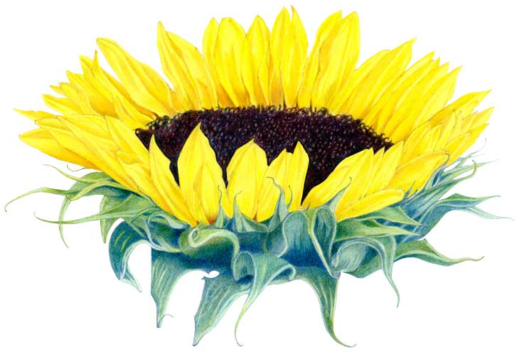 40FloatingSunflower