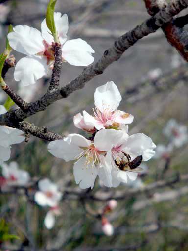 04-april-13-bee-almond