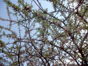 04-april-13-almondblossoms