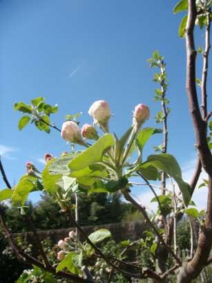 04-april-13-appleblossoms