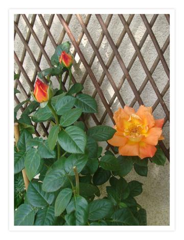 05-may-07-roses