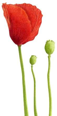 25-Red-Poppy