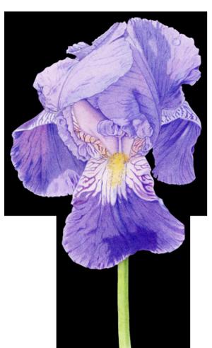 02 Purple Iris