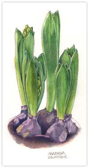 41 Hyacinth Bulbs