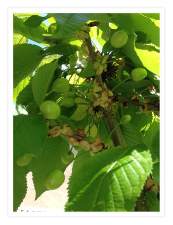 06 cherries