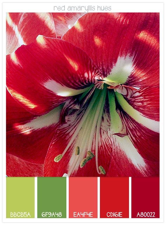 Red-amaryllis-hues