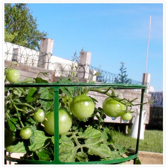 Veggie-garden-4