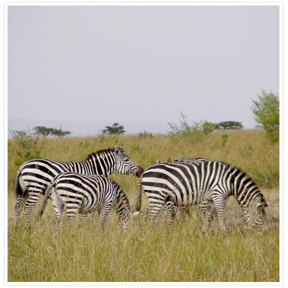 Zebras-5