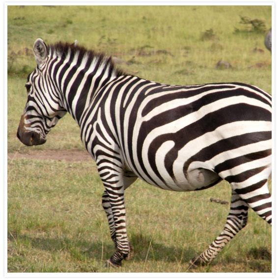 Zebras-6