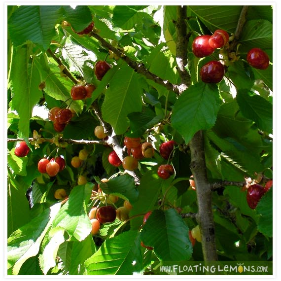 Garden-cherries-1