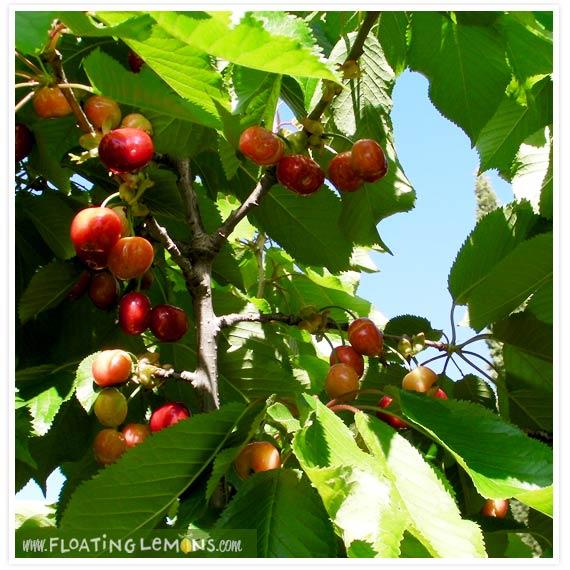 Garden-cherries-2