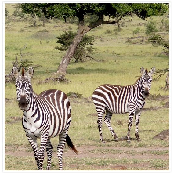 Zebras-3