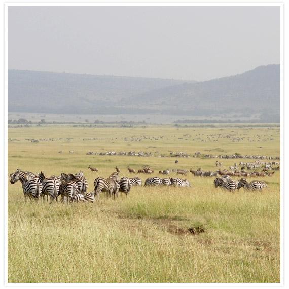 Zebras-8