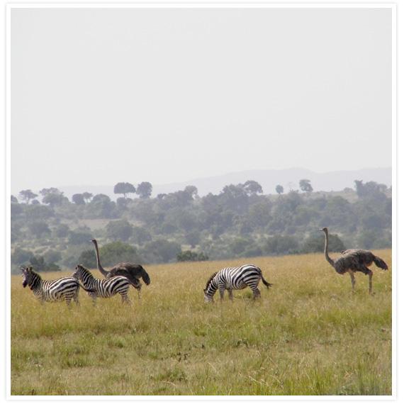 Zebras-7