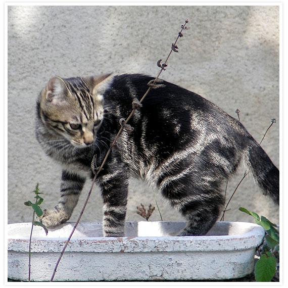 Caesar kitten