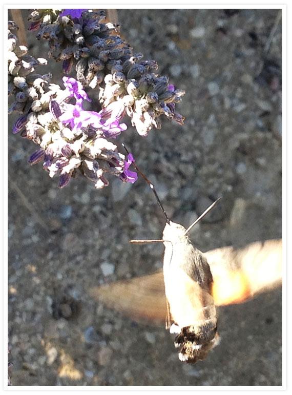 Val Joannis hummingmoth 4