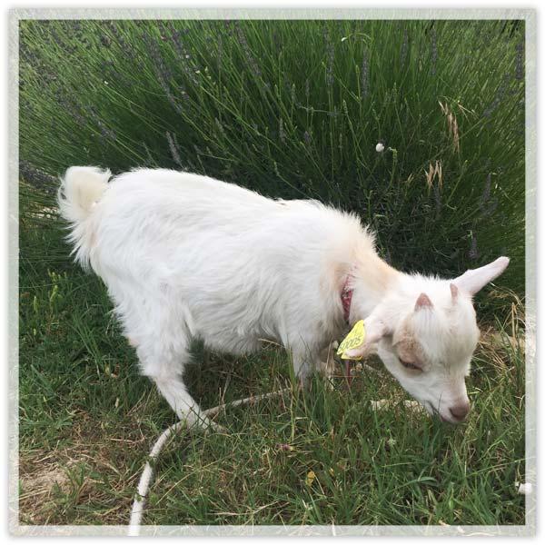 Napoleon-Kid-Goat