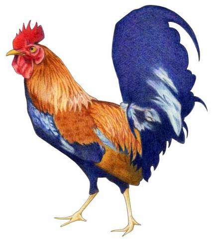 171rooster_3