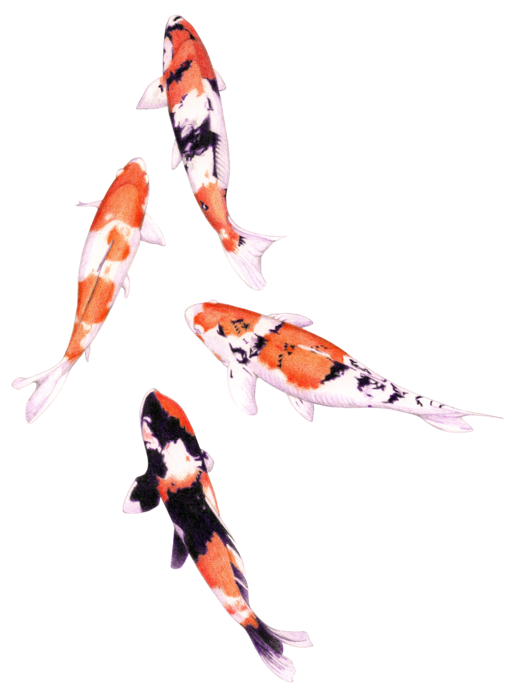 Floating_koi