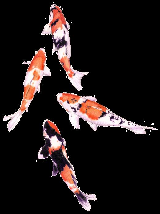 Floating_koi